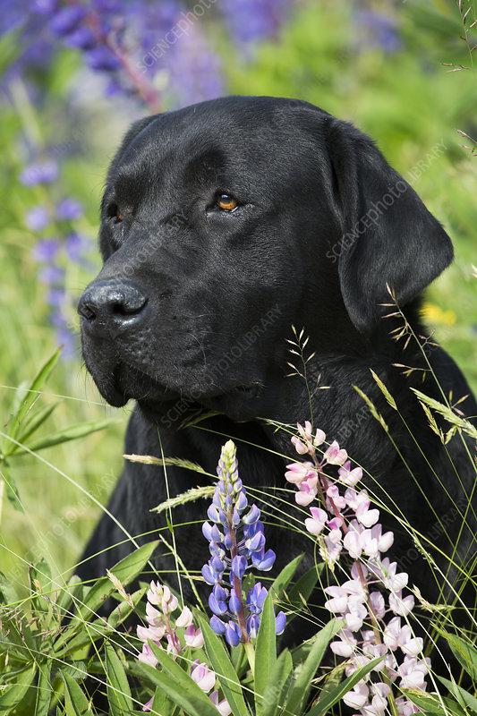 Black Labrador retriever and Lupin flowers