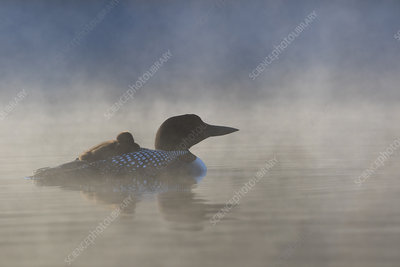 Common loon with chick on back at dawn