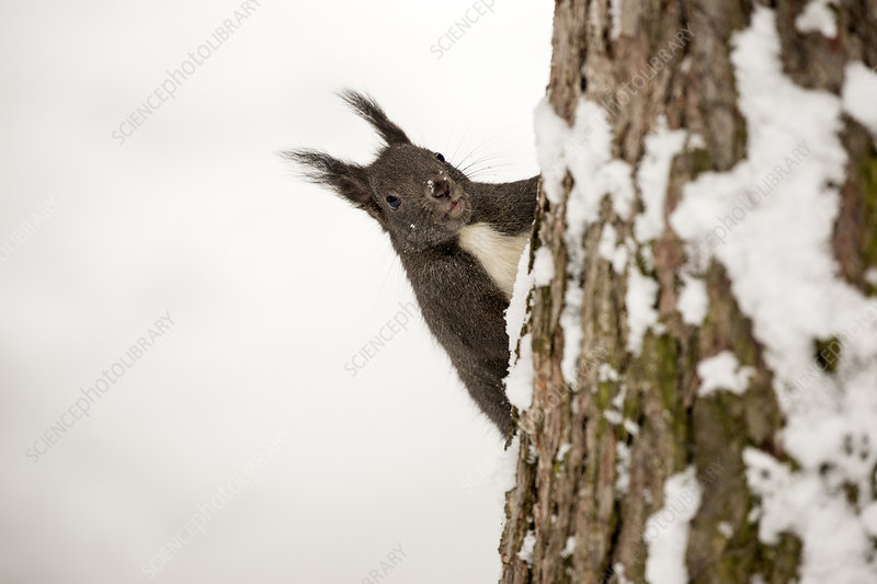 Red Squirrel on a tree trunk in a snow covered forest