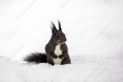 Red Squirrel in deep snow, Switzerland