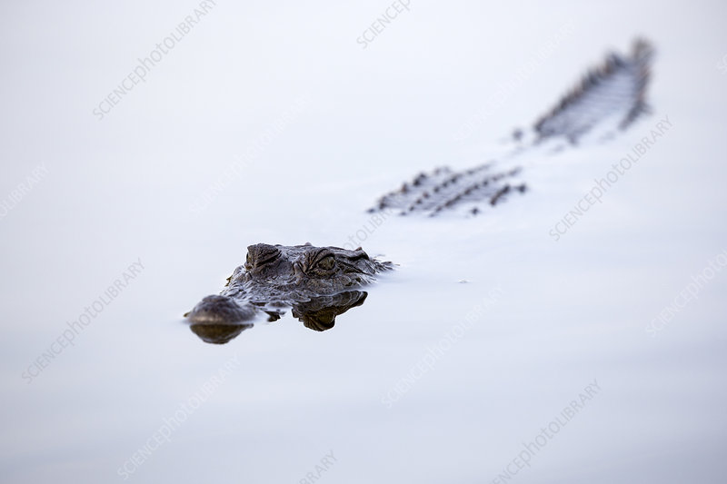 Nile crocodile at the water surface, Gambia