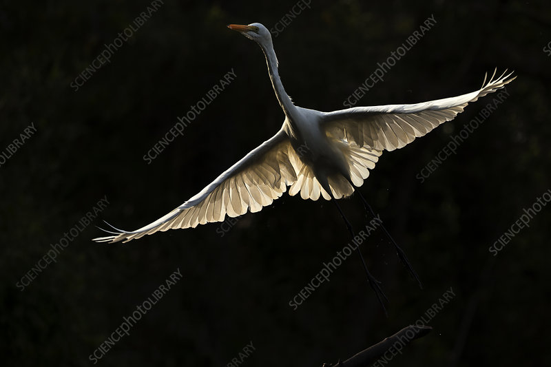Great egret in flight, backlit, Gambia