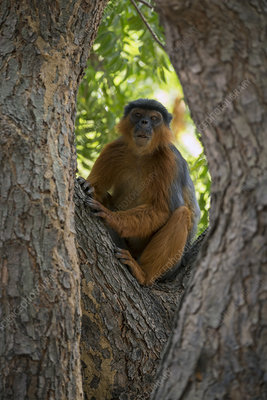 Western red colobus in a tree