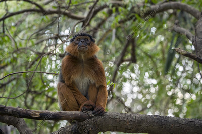 Western red colobus adult male in a tree, Gambia
