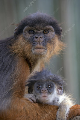 Western red colobus female with small youngster, Gambia
