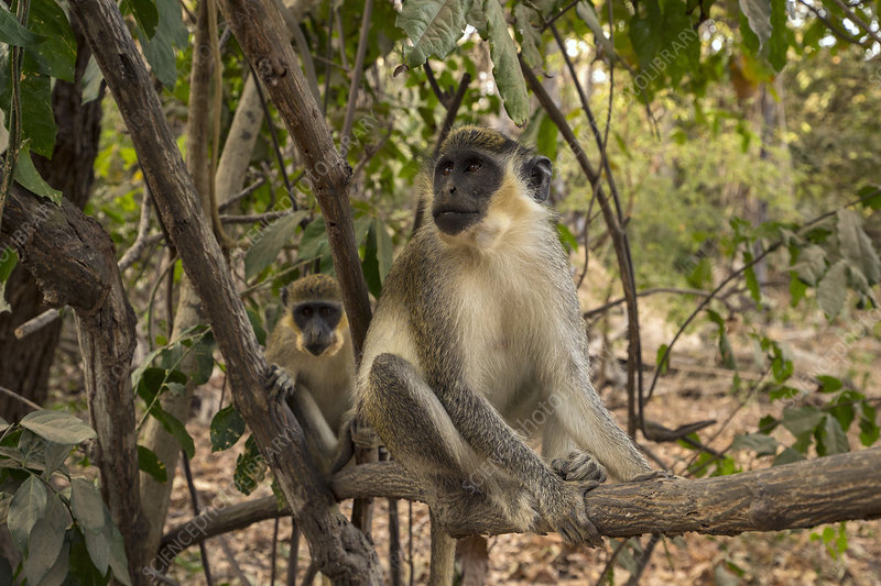 Green Monkey, Callithrix Monkey perched in a tree