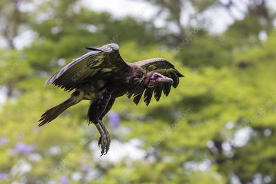 Hooded vulture in flight, Gambia