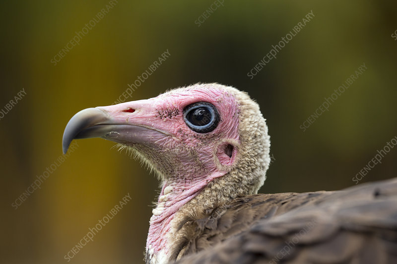 Hooded vulture close-up, Gambia