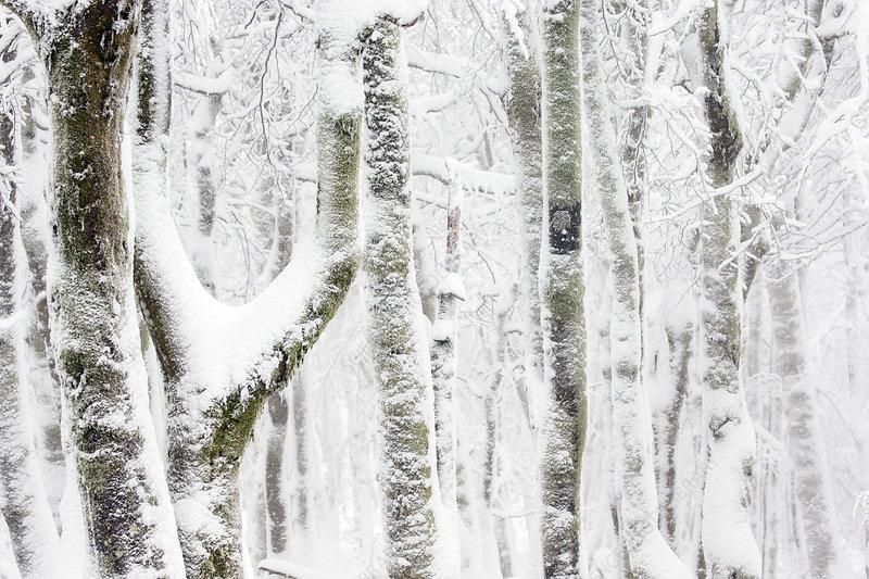European beech tree (Fagus sylvatica) trees