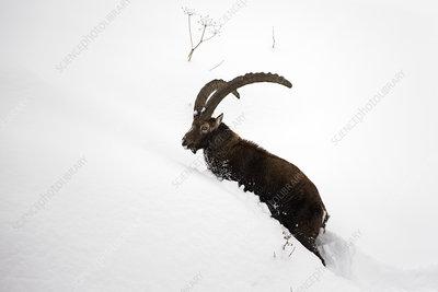 Alpine ibex male in deep snow