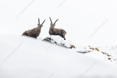 Alpine ibex two adult males in deep snow on a ridge