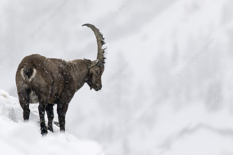 Alpine ibex male in deep snow on a ridge