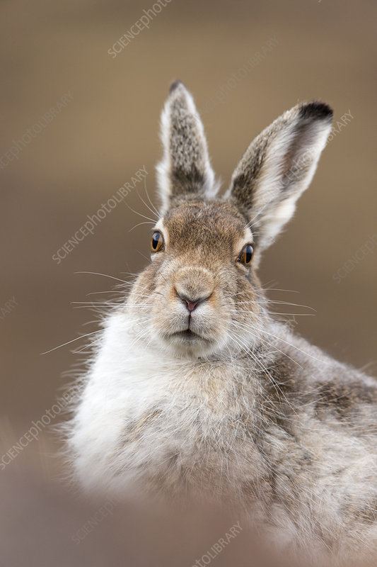 Mountain Hare close up of adult in spring coat, Scotland, UK