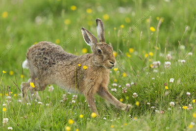 Brown Hare adult stretching, in summer meadow, Scotland, UK