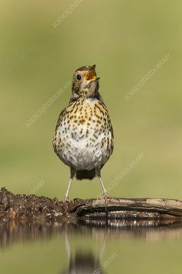 Song Thrush juvenile drinking at garden pond, Scotland, UK
