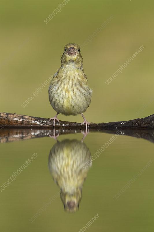 Greenfinch juvenile drinking at garden pond, Scotland, UK