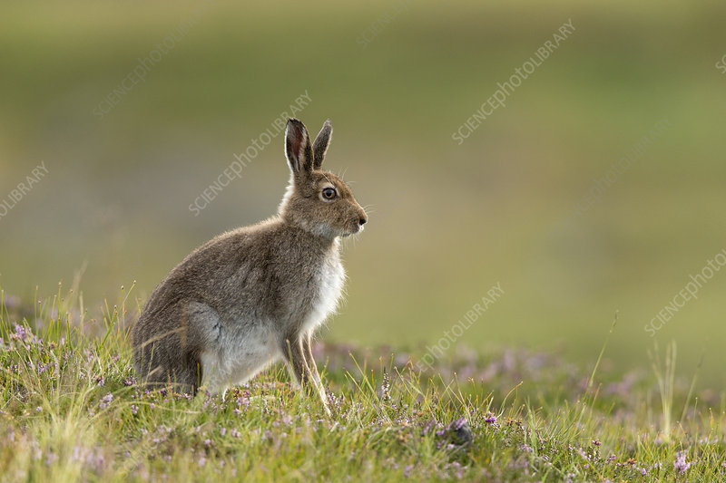 Mountain Hare in summer pelage on heather moorland