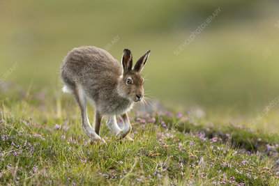 Mountain Hare adult in summer pelage running across heather