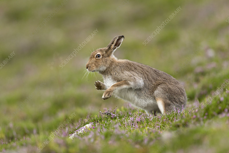 Mountain Hare shaking after grooming