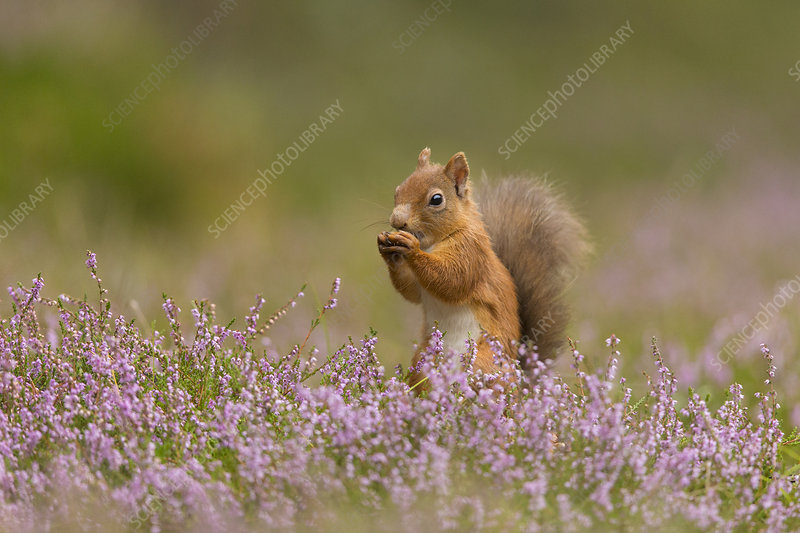 Red Squirrel in summer coat amongst heather