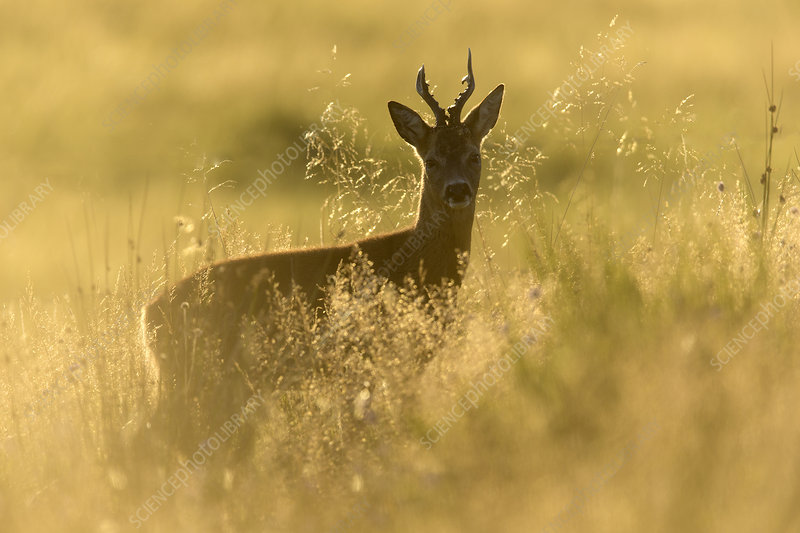 Roe buck stood in rough grassland in evening light