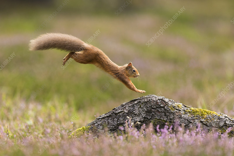 Red Squirrel adult in summer coat leaping onto fallen log
