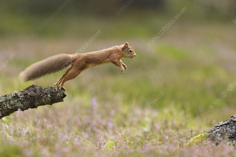Red Squirrel adult in summer coat leaping