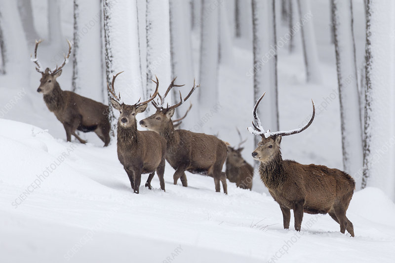 Red Deer group of stags in snow-covered pine forest