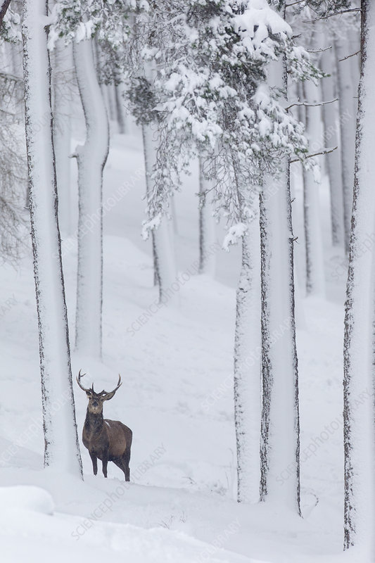Red Deer stag in snow-covered pine forest, Scotland, UK