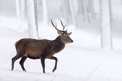 Red Deer stag walking through snow-covered pine forest
