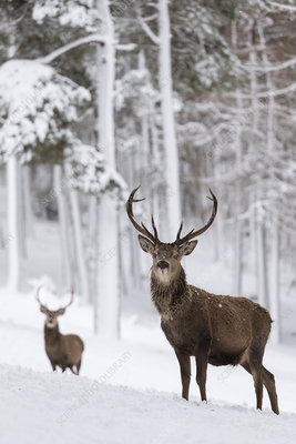 Red Deer stags in snow-covered pine forest, Scotland, UK