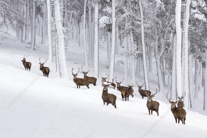 Red deer herd in forest in winter, Scotland, UK