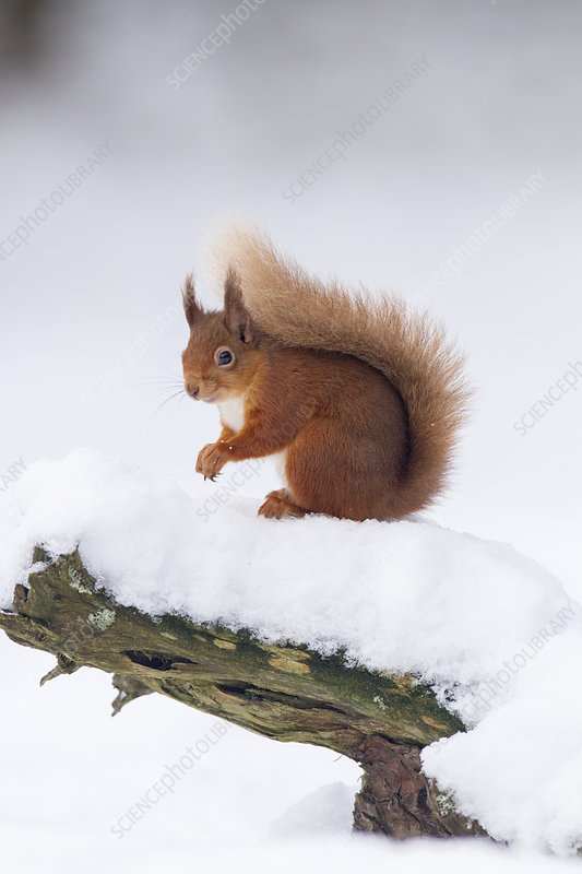 Red Squirrel on log in snow, Scotland, UK