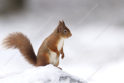 Red Squirrel standing on log in snow, Scotland, UK