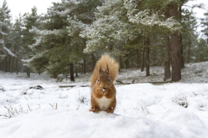 Red Squirrel in woodland habitat in snow, Scotland, UK
