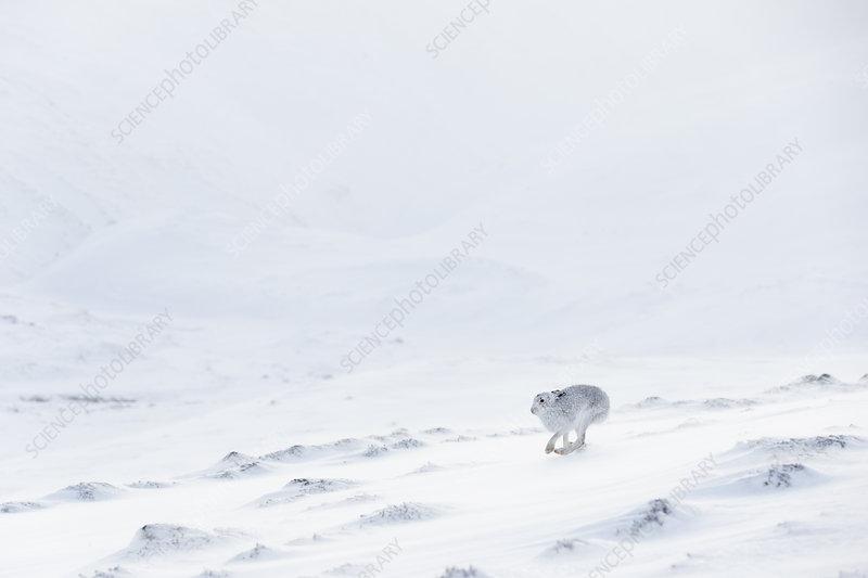 Mountain Hare in white winter coat running across snow