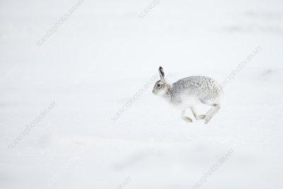 Mountain Hare running across snow, Scotland, UK