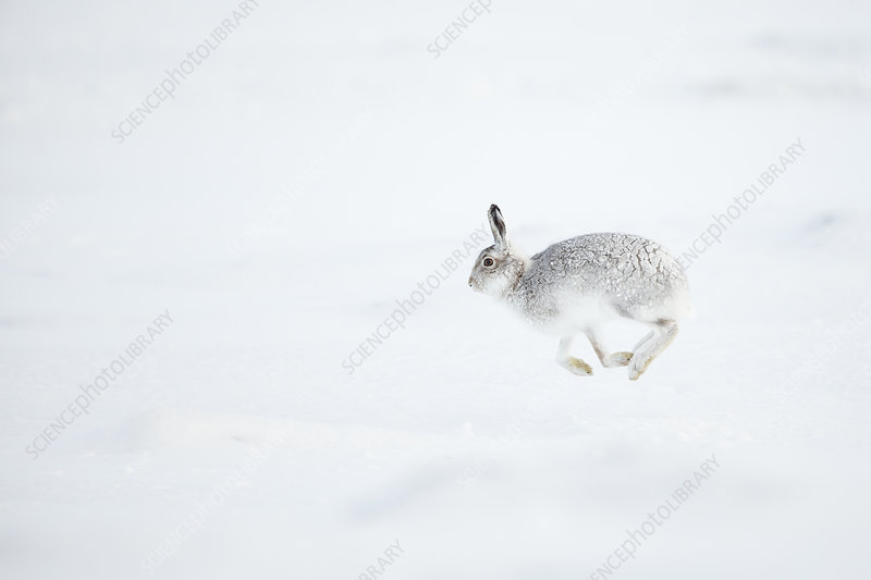 Mountain Hare running across snow, Scotland, UK