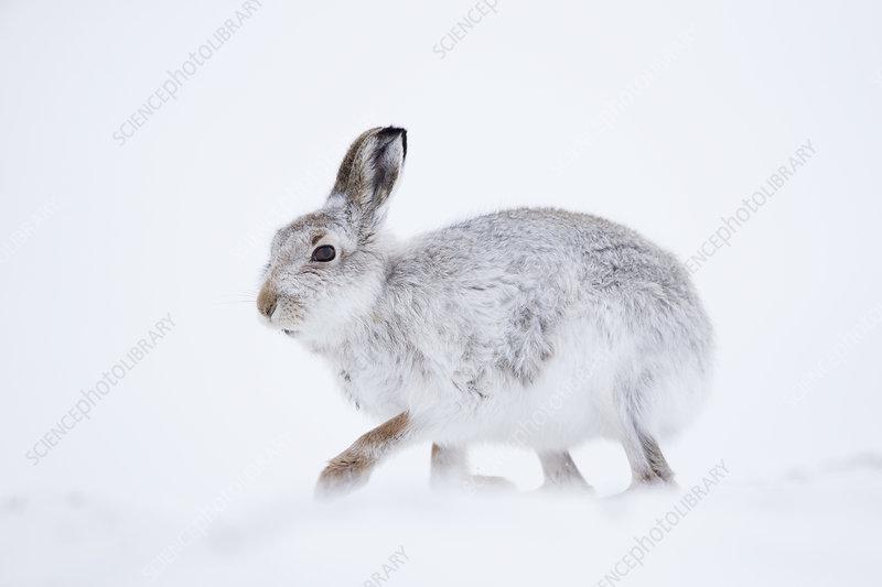 Mountain Hare on snow, Scotland, UK