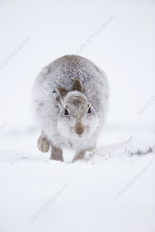 Mountain Hare hopping towards camera, in snow, Scotland, UK