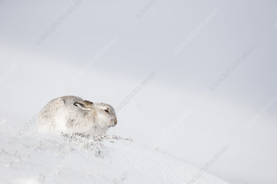 Mountain Hare sitting on snow, Scotland, UK