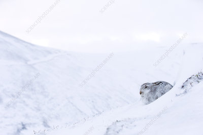 Mountain Hare sat in snow hole