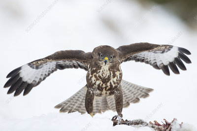 Common buzzard protecting prey from rival bird in snow