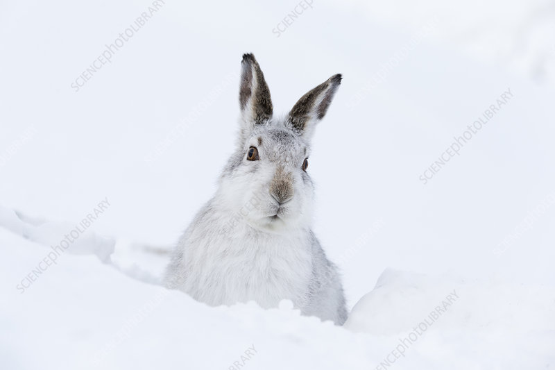Mountain Hare adult resting in snow hole in winter habitat