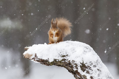 Red Squirrel on snow-covered stump, Scotland, UK