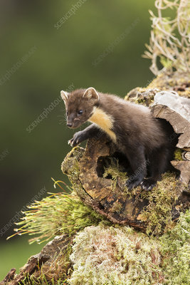 Pine Marten emerging from hollow log, Scotland, UK