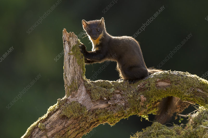 Pine Marten on fallen log, Scotland, UK