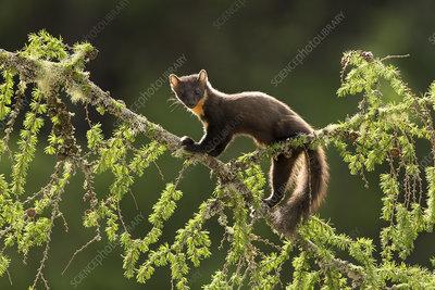 Pine Marten backlit on larch branch, Scotland, UK