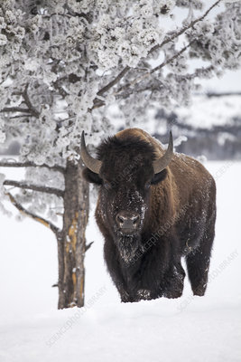 Bison bull standing in snow, Yellowstone National Park, USA