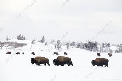 Three Bison walking through snow